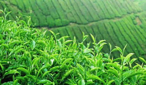 Sử dụng lá trà xanh để chữa trị bệnh viêm da cơ địa ở mặt người trưởng thành